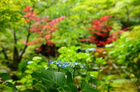 紫陽花と赤もみじ