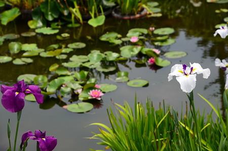花菖蒲と睡蓮