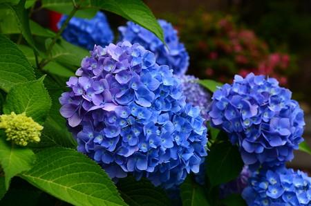 紫と青の紫陽花