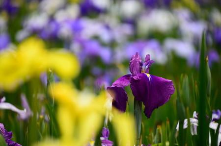 紫紅竜(シコウリュウ?)