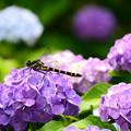 紫陽花に止まるコオニヤンマ