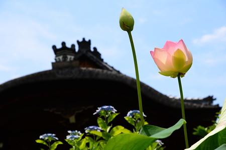 夏空と蓮と紫陽花と~
