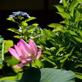 蓮と紫陽花