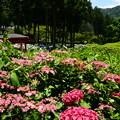 紫陽花の三室戸寺