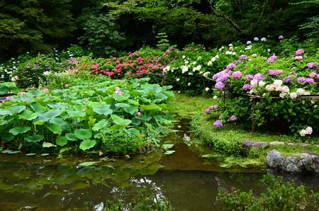 満開の紫陽花園