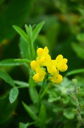 黄花の連理草(キバナノレンリソウ)