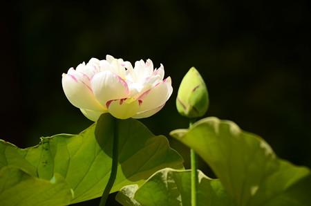 大灑錦(タイサイキン)