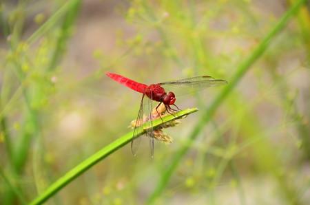猩々蜻蛉  (ショウジョウトンボ)