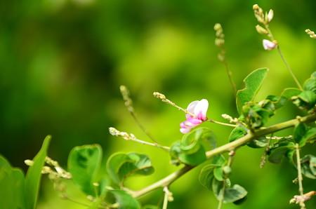 咲き始めた萩