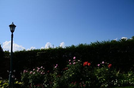 夏雲とダリア