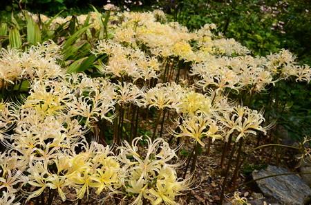 満開の白花彼岸花(シロバナヒガンバナ)