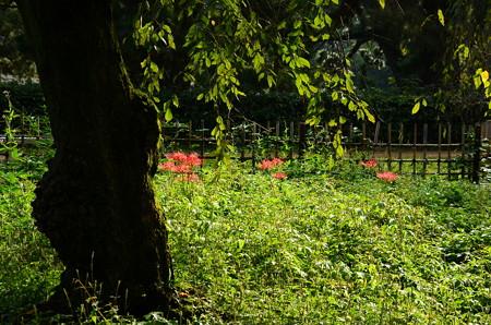 桜の園の彼岸花