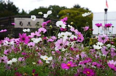 菊花展前の秋桜(コスモス)