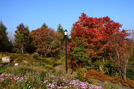秋桜と紅葉のガーデンミュージアム比叡