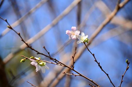 八瀬橋脇の桜