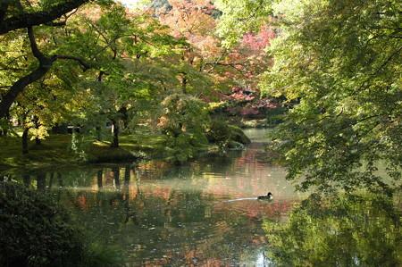 色付き始めた池を泳ぐ