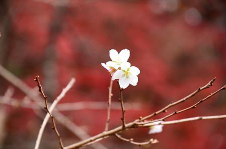 紅葉の中の四季桜(シキザクラ)