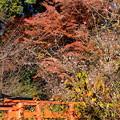 紅葉の前の十月桜