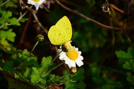 初冬の黄蝶(キチョウ)