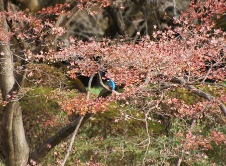 紅葉の中の翡翠(カワセミ)