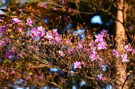 冬の三つ葉躑躅(ミツバツツジ)