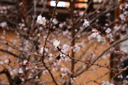 満開の冬桜(フユザクラ)