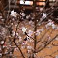 Photos: 満開の冬桜(フユザクラ)