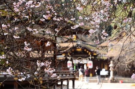 十月桜の中の本殿