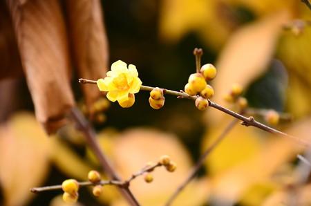 咲き始めた蝋梅(ロウバイ)
