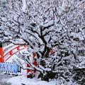 雪の光琳の梅と曲橋