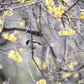 写真: 蝋梅の中のエナガ