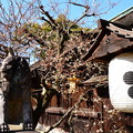 写真: 三光門脇の白梅