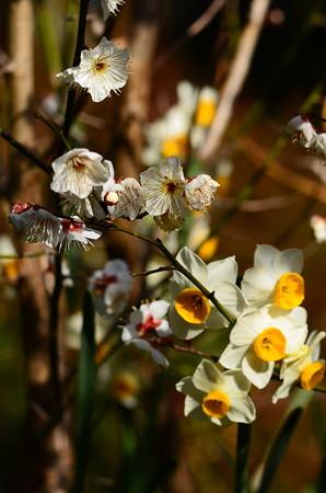 白梅と水仙