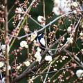 写真: 梅の中の四十雀(シジュウカラ)