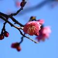 写真: 八重唐梅(ヤエトウバイ)