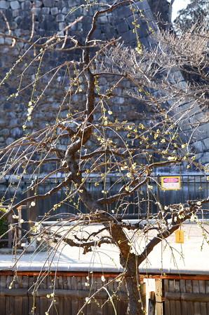 緑萼枝垂れ(リョクガクシダレ)