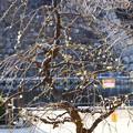 写真: 緑萼枝垂れ(リョクガクシダレ)
