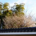 写真: 竹と白梅