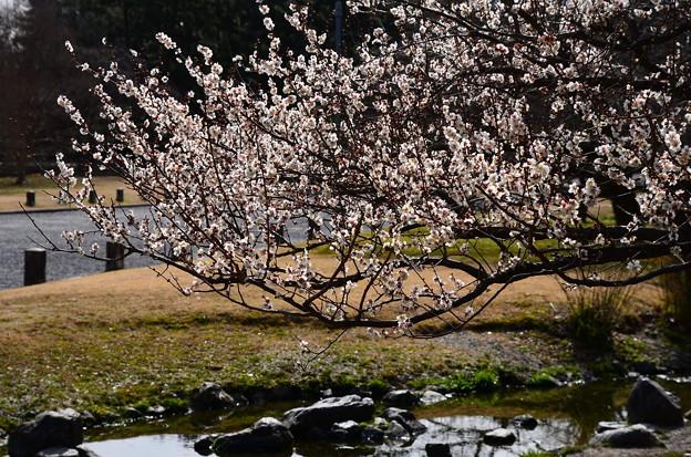写真: 出水の小川と白梅