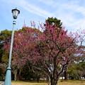 写真: 梅林の紅梅