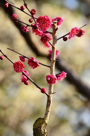 紅鶴(ベニヅル)