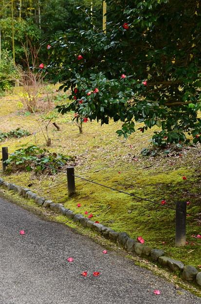 写真: 薮椿(ヤブツバキ)