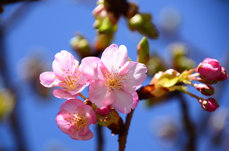 河津桜咲く~