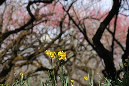 梅を背景に咲く水仙(スイセン)