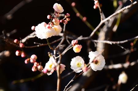 源平咲きの梅、、、