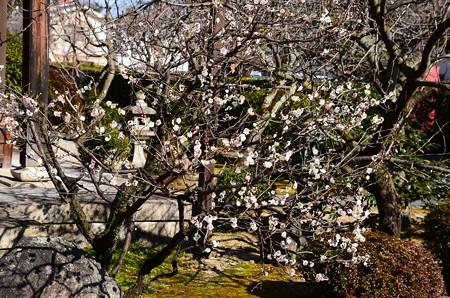 本満寺の白梅