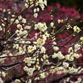 写真: 赤の前の白梅
