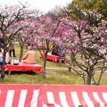 写真: 梅小路公園・梅まつり
