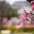 写真: 梅風景