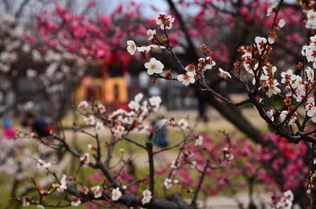 梅小路公園の梅風景